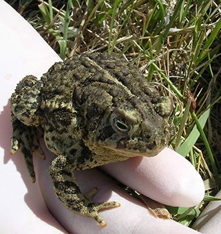 A photo of a Wyoming Toad