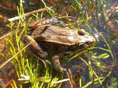A photo of a Wood Frog in water