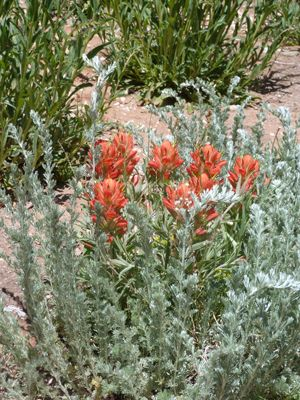 Image of Indian Paintbrush