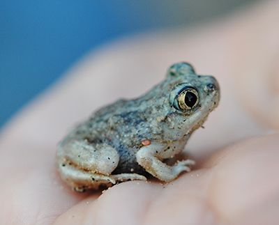 A young Plains Spadefoot