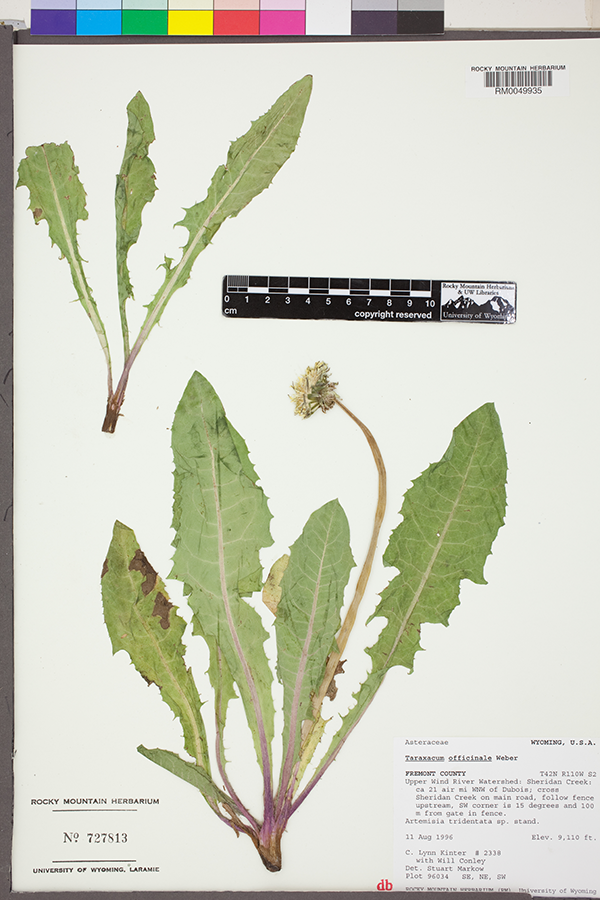 The image of a dandelion specimen from the Rocky Mountain Herbarium.