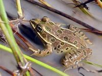 A picture of a Northern Leopard Frog in water