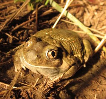 A photo of a Plains Spadefoot on the ground