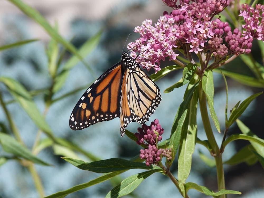Monarchs and Milkweeds